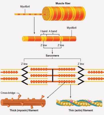 Fibra muscolare