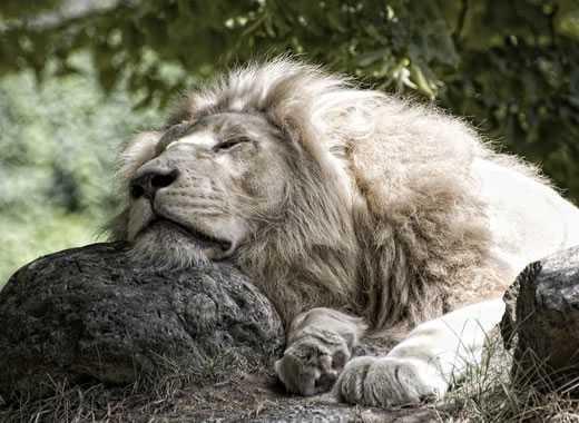 leone riposo