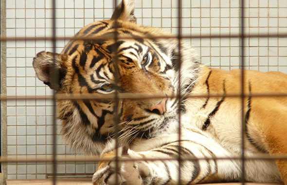 tigre gabbia