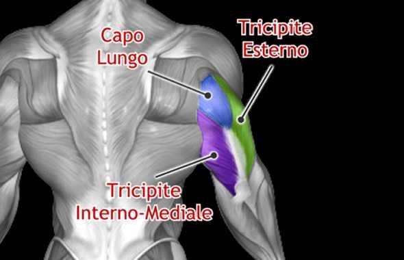 tricipiti muscoli