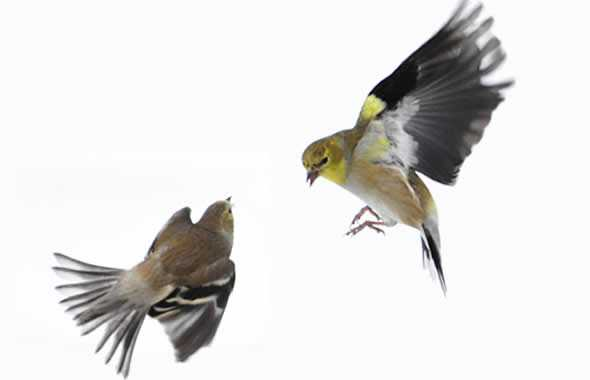 uccelli lotta