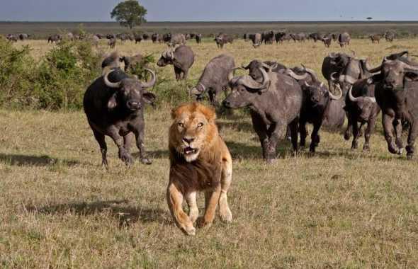leone scappa