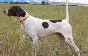 cane da punta