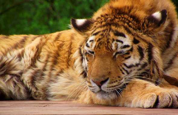 tigre lezione